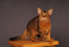 Somali kitten ruddy color. Standing on wooden chair Stock Photo