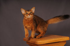 Somali kitten ruddy color. Standing on wooden chair Royalty Free Stock Photos
