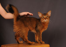 Somali kitten ruddy color. Standing on wooden chair Royalty Free Stock Photo