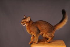 Somali kitten ruddy color. Standing on wooden chair and going to jump Stock Photo