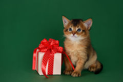 Somali kitten sitting near a present box on green background. Cute somali kitten sitting near a present box on green background Stock Photography