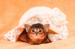 Somali kitten under hat. Somali kitten under white crocheted handmade hat portrait Royalty Free Stock Photography