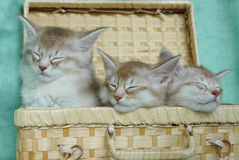 Somali kittens asleep in a basket. Sorrel silver somali kittens asleep in a picnic basket royalty free stock photography