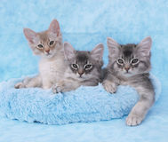 Somali kittens in a blue bed. 10 week old fawn silver and blue silver somali kitten siblings relax in a blue bed Royalty Free Stock Photos