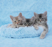 Somali kittens in a blue bed. 10 week old fawn silver and blue silver somali kitten siblings relax in a blue bed royalty free stock photography