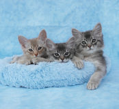 Somali kittens in a blue bed. 10 week old fawn silver and blue silver somali kitten siblings relax in a blue bed stock image
