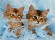 Somali kittens relaxing in blue feathers. Somali kittens relaxing among blue feathers Royalty Free Stock Photography