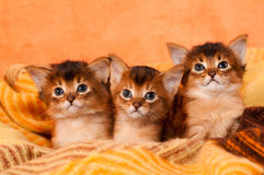 Somali kittens. Sits in cosy plaid and looking at camera Royalty Free Stock Photography