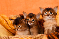 Somali kittens. Three sisters in cosy plaid looking at camera Royalty Free Stock Photography