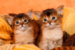 Somali kittens. Two somali kittens sits and looking at camera Stock Image