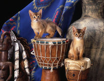 Somali kittens. Two small somali kittens standing on djembe drums in an african decoration set Stock Photography