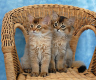 Somali kittens on a wicker chair. Somali kittens, sit together on a wicker chair stock photo