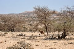 Somali ladscape. The landscape in the area of Las Geel Royalty Free Stock Image