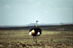 Somali ostrich, Chalbi Desert, Kenya. Somali ostrich is different from the common ones with its blue neck Stock Photos