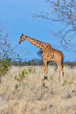 Somali or Reticulated Giraffe, Meru NP, Kenya Stock Photography