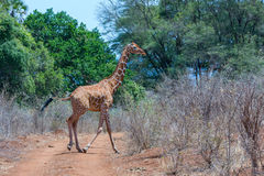 Somali or Reticulated Giraffe Running. A solitary Somali Giraffe, aka Reticulated Giraffe, running across a road in Meru National Park, Kenya. Its cleft hooves Royalty Free Stock Photo