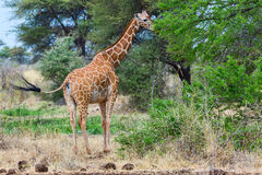 Somali or Reticulated Giraffe, Tail Flicking Stock Image