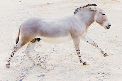 Somali wild ass Royalty Free Stock Photography