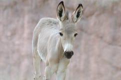 Somali wild ass baby Stock Photo