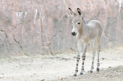 Somali wild ass baby 2 Royalty Free Stock Photography