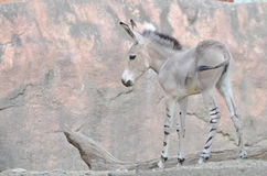 Somali wild ass baby 3. A somali wild ass filly side view Stock Photos