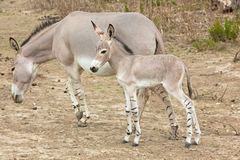 Somali wild ass baby and mother. In nature Royalty Free Stock Image