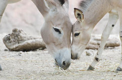 Somali wild baby and mother 2. A somali wild filly snuggles with her mother Stock Image