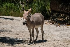 Somali Wild. Critically endangered Somali Wild in a zoo stock images