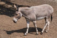 Somali Wild Ass Donkey. Somali Wild Ass or Somali Donkey, scientific name: Equus africanus somaliensis, regions: Somalia, Eritrea, Ethiopia royalty free stock photos