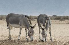 Somali wild ass (Equus africanus) Royalty Free Stock Photography