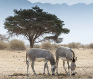 Somali wild ass (Equus africanus) Royalty Free Stock Photo