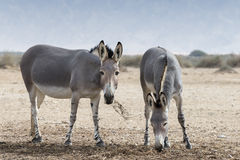 Somali wild ass (Equus africanus). The African wild ass (Equus africanus) is gray with black stripes on its legs. Mentioned in the Bible, along with the onager Royalty Free Stock Images