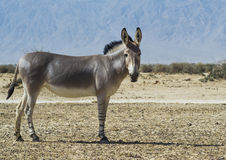 Somali wild ass (Equus africanus). In Hai-Bar biblical nature reserve, 35 km north of Eilat, Israel Stock Images