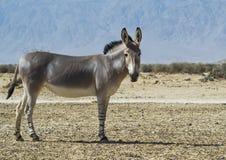 Somali wild ass (Equus africanus) Stock Images