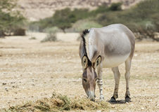 Somali wild ass (Equus africanus) in Israeli nature reserve. African wild ass (Equus africanus) is the forefather of all domestic asses. This species is Stock Photo