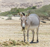 Somali wild ass (Equus africanus) in Israeli nature reserve. African wild ass (Equus africanus) is the forefather of all domestic asses. This species is Royalty Free Stock Photography