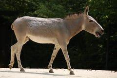 Somali wild ass. (Equus africanus somaliensis Royalty Free Stock Images