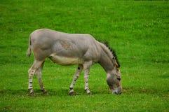Somali wild ass (Equus africanus somaliensis) Stock Images