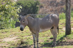 Somali wild ass (Equus africanus somaliensis) Royalty Free Stock Photography