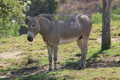 Somali wild ass (Equus africanus somaliensis) Stock Photo