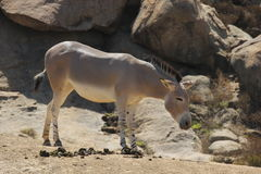 Somali wild ass (Equus africanus somaliensis). A Somali wild ass (Equus africanus somaliensis) at a local zoo Stock Photo