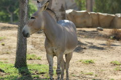 Somali wild (Equus africanus somaliensis). A Somali wild (Equus africanus somaliensis) at a local zoo stock photo