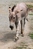 Somali wild ass (Equus africanus somaliensis). Stock Photo