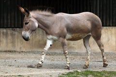 Somali wild ass (Equus africanus somaliensis). Royalty Free Stock Photos