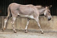 Somali wild ass (Equus africanus somaliensis). Stock Image