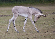 Somali Wild Ass foal. A Somali Wild Ass foal in a field Stock Photos