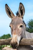 Somali wild ass head shot Royalty Free Stock Photography
