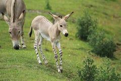 Somali wild ass Royalty Free Stock Photo