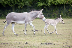Somali Wild Ass mother with foal. A Somali Wild Ass mother with her foal in a field Royalty Free Stock Images