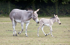 Somali Wild Ass mother with foal. A Somali Wild Ass mother with her foal in a field Stock Photo